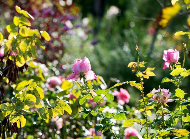 Bee-on-Rose_DSC_8731
