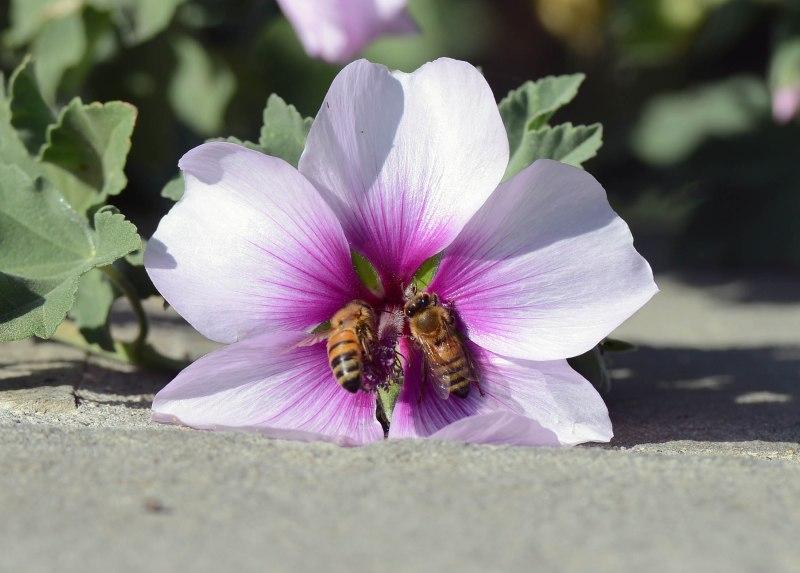 Bees_DSC_8107