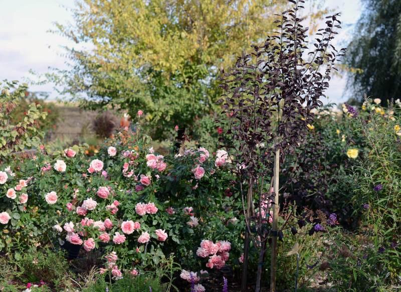 Flowering-Plum_DSC_7587