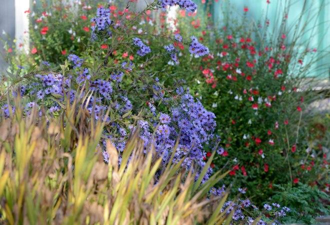 Garden_Asters_DSC_8144