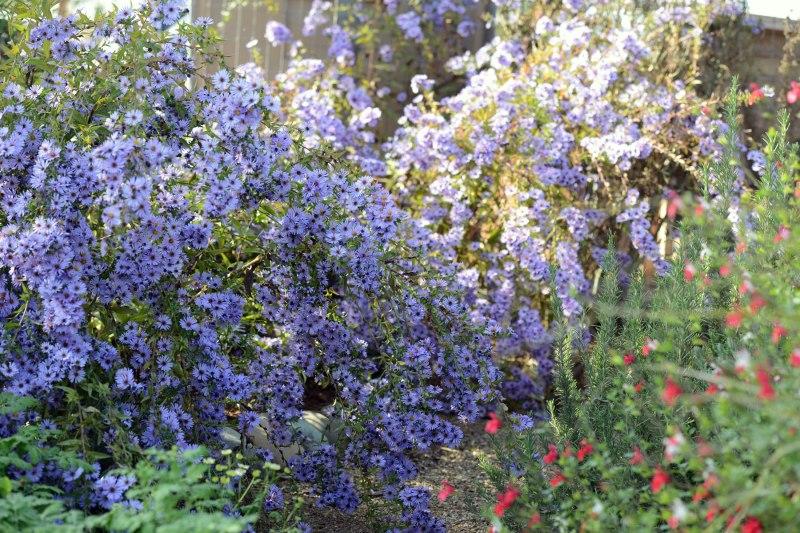 Garden_Asters_DSC_8230