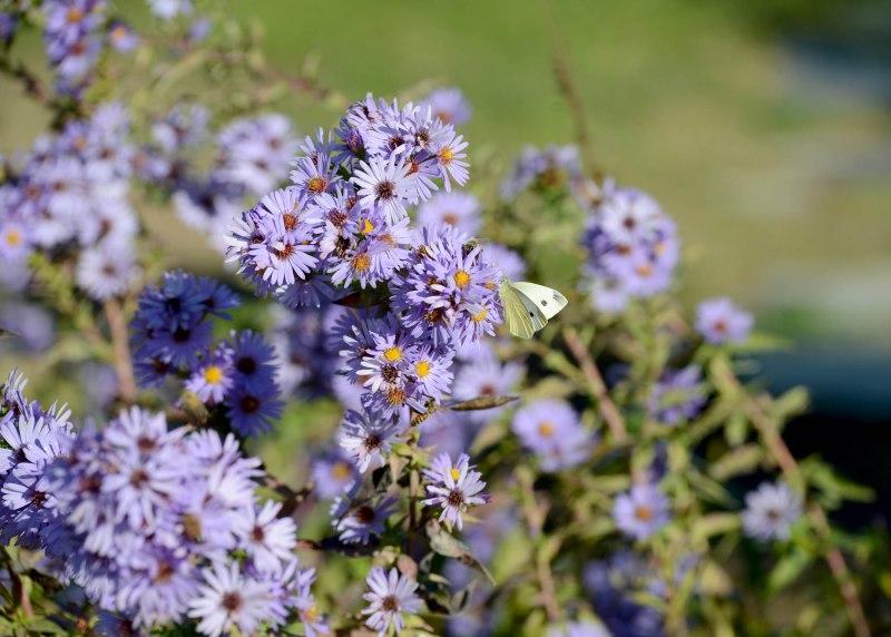 Garden_Asters_DSC_8449