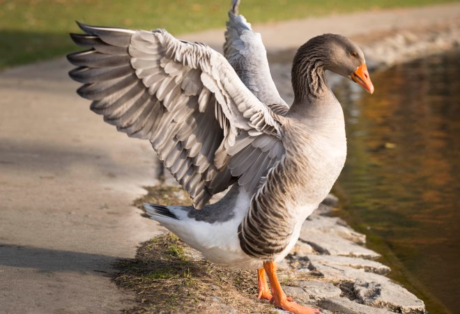 Goose_DSC_9571