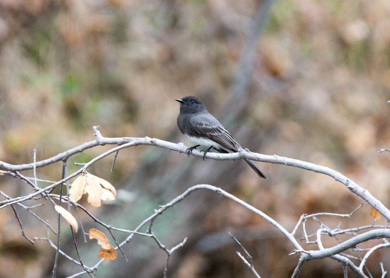 Grey-Bird_