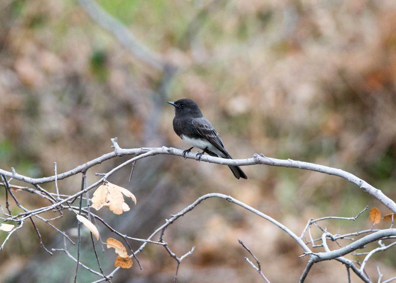 Grey-Bird_DSC_8972