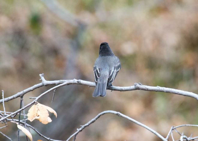 Grey-Bird_DSC_8994