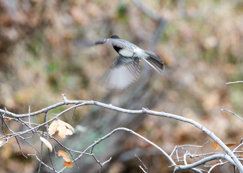 Grey-Bird_DSC_9020