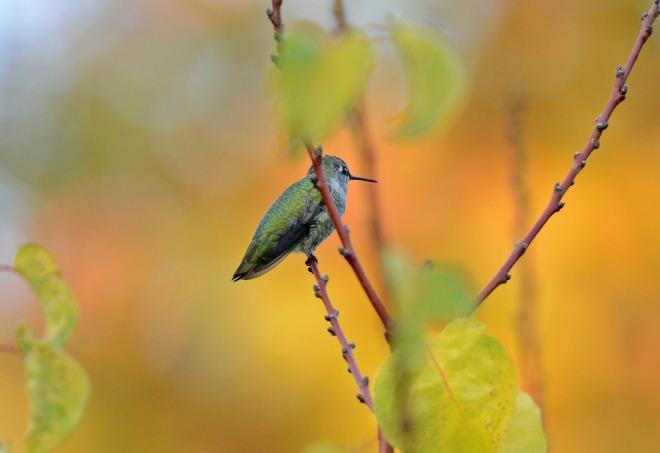 Hummingbird_DSC_7925