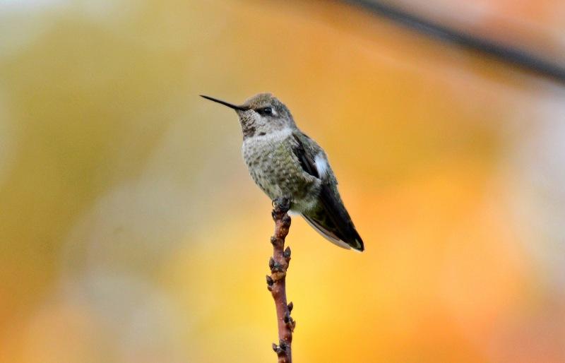 Hummingbird_DSC_7960