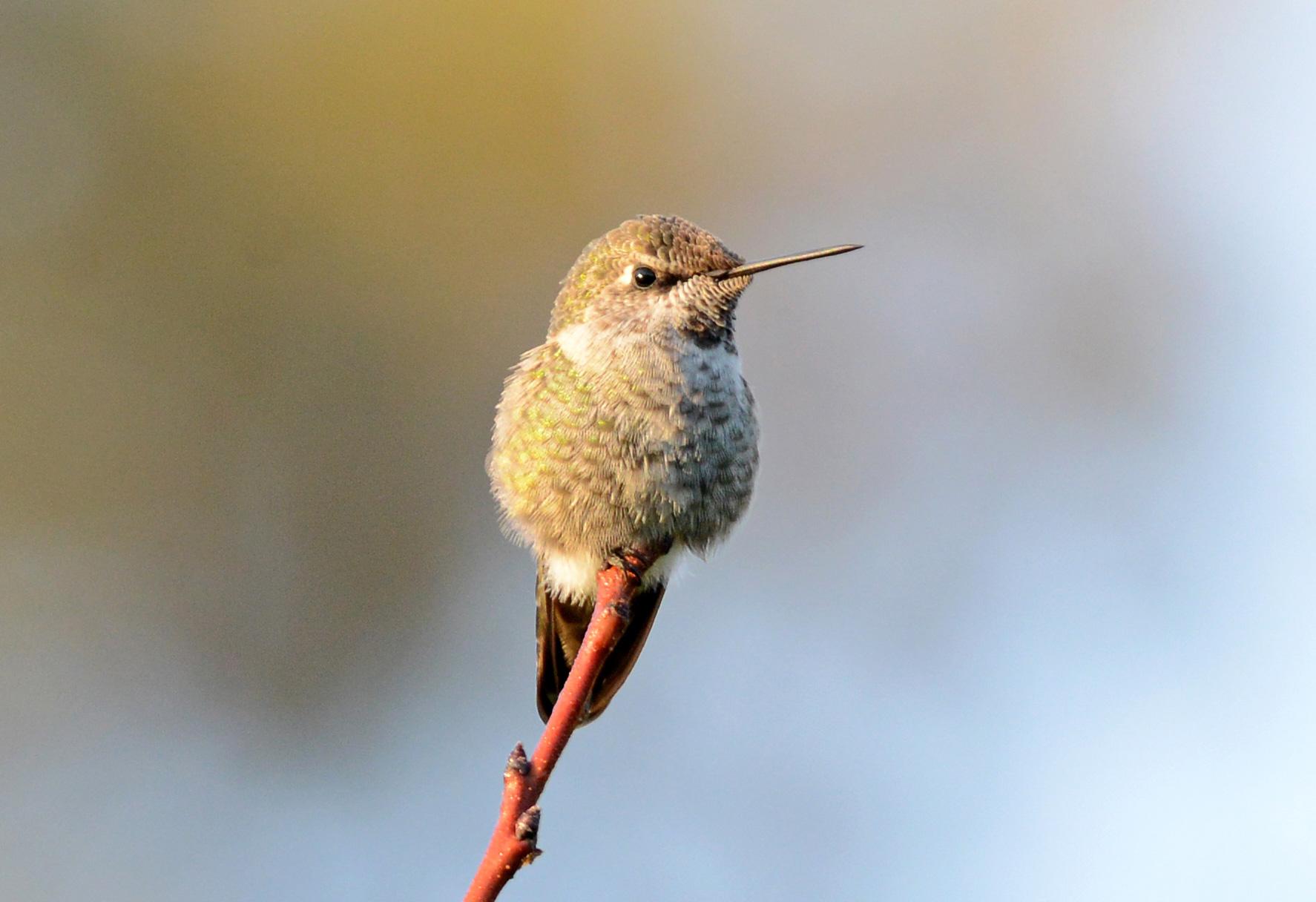 Hummingbird_DSC_8023