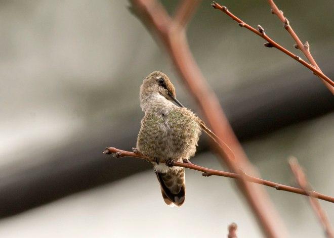 Hummingbird_DSC_9265
