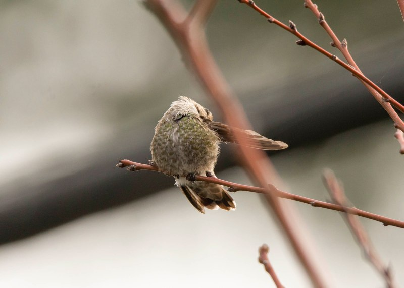 Hummingbird_DSC_9276