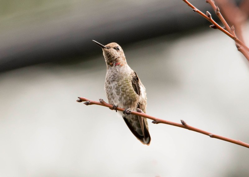 Hummingbird_DSC_9294