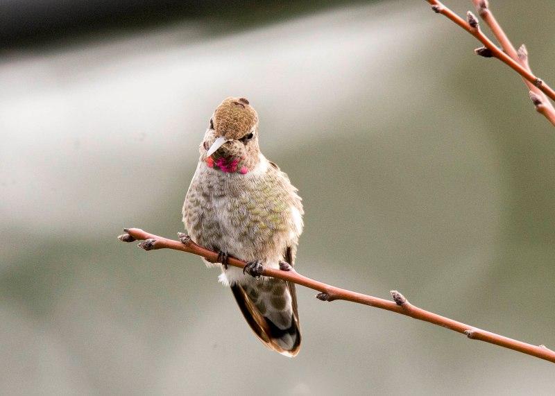 Hummingbird_DSC_9300
