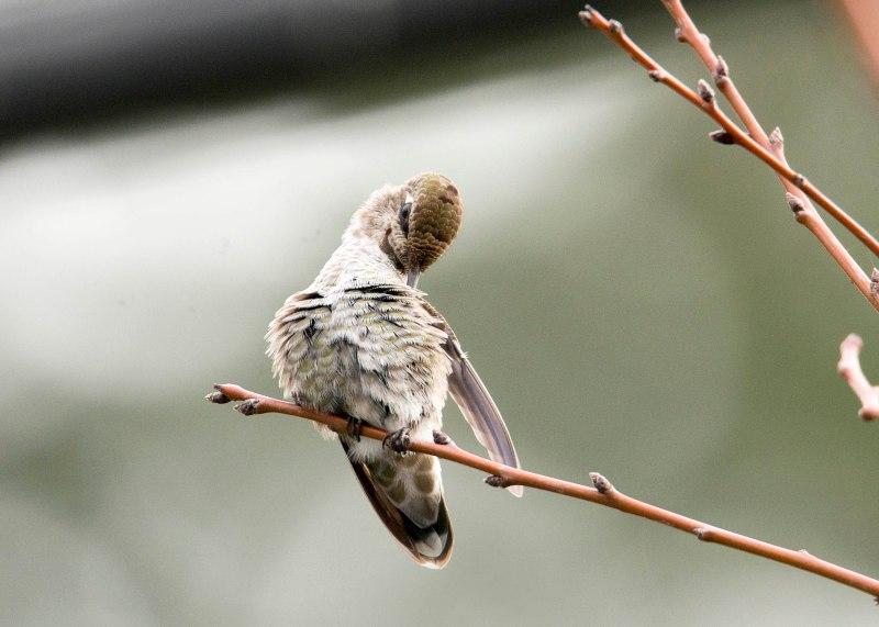 Hummingbird_DSC_9301