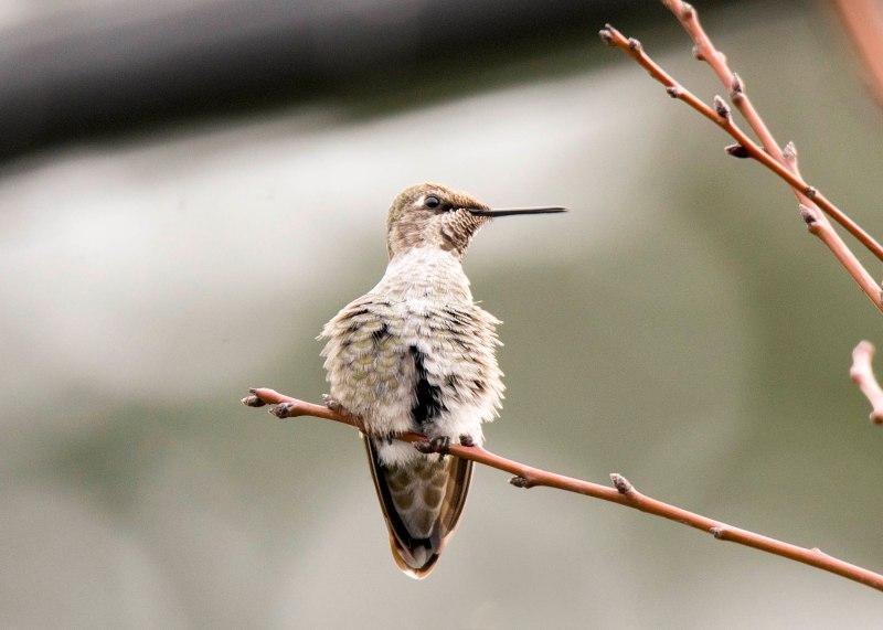 Hummingbird_DSC_9302