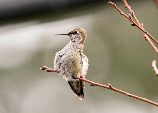 Hummingbird_DSC_9305