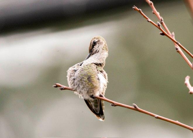 Hummingbird_DSC_9311