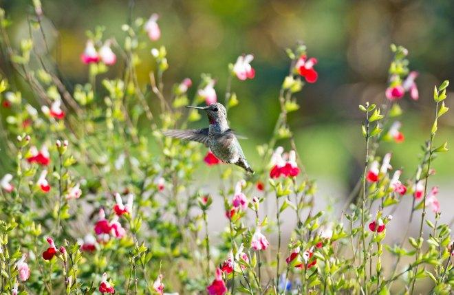 Hummingbird_DSC_9451