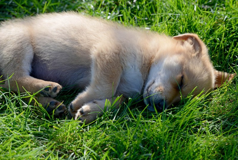 Sleeping Puppy_DSC_8194
