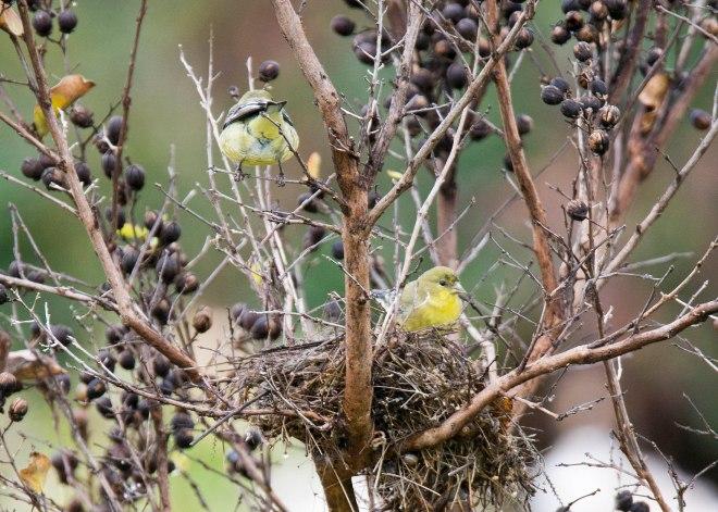 Warbler_Nest_DSC_9347