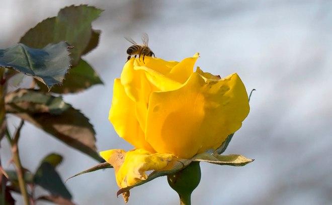 Bee_Rose_DSC_0088