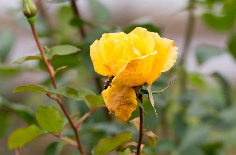 Bee_Rose_DSC_0480