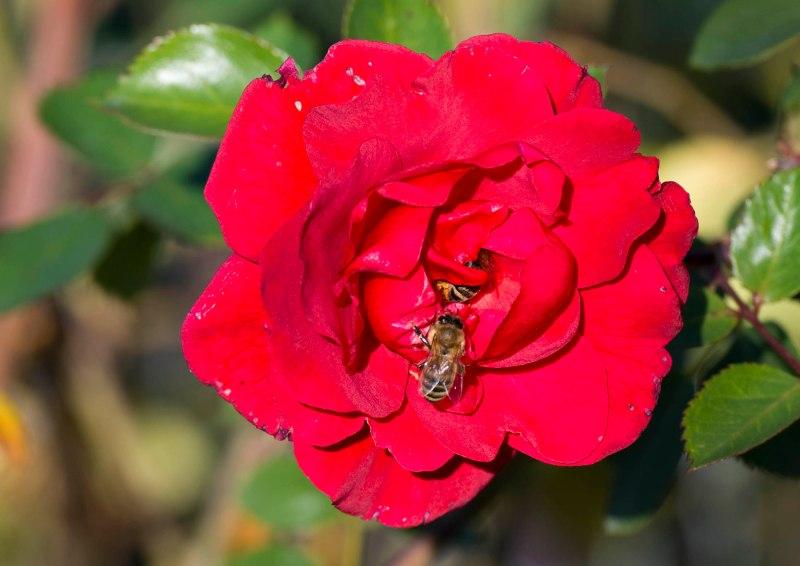 Rose_bee_DSC_1280