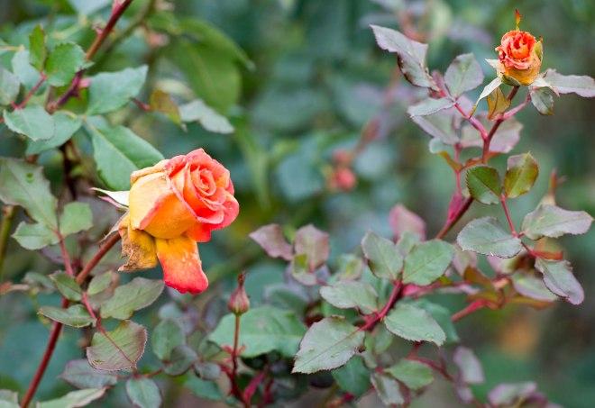 Rose_DSC_0481