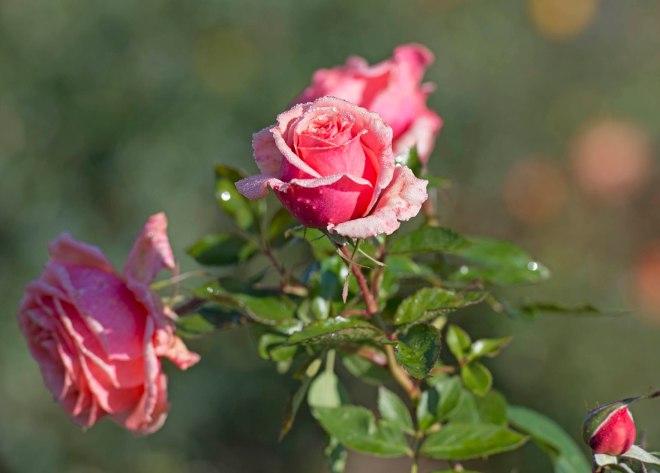 Roses_DSC_1131