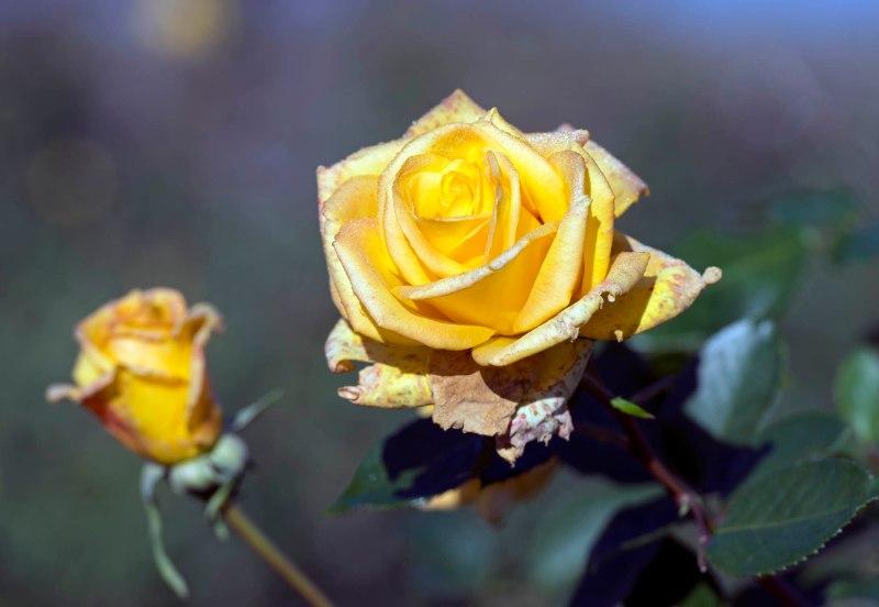 Roses_DSC_1132