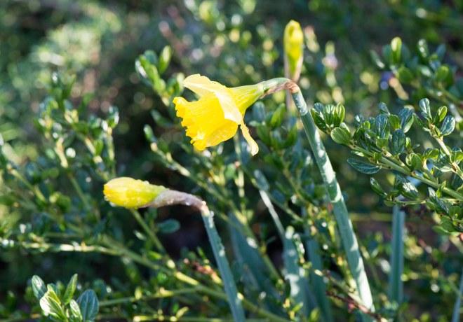 Daffodils_DSC_3621