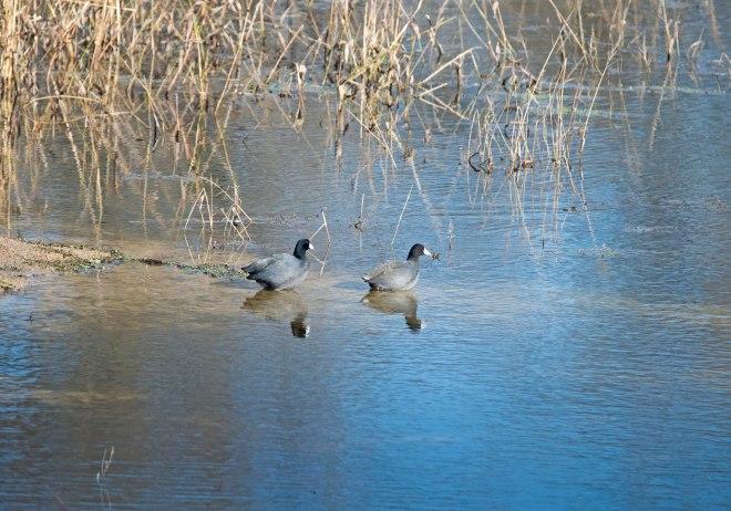 Ducks_DSC_1716