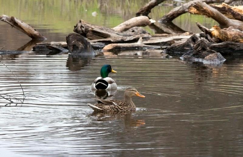 Ducks_DSC_2602