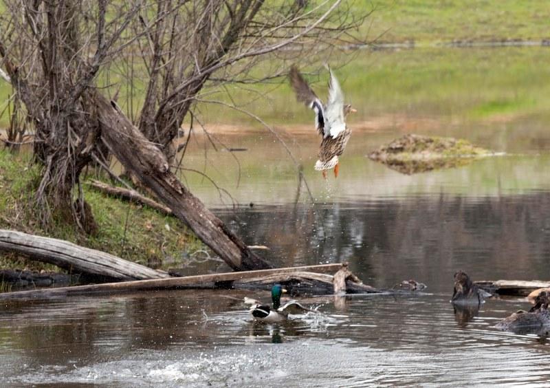 Ducks_Flight_DSC_2604