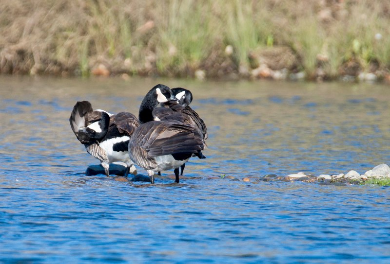 Geese_River_DSC_1357