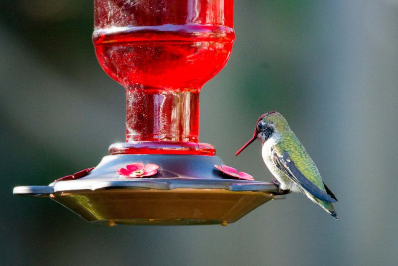 Hummingbird_DSC_1583