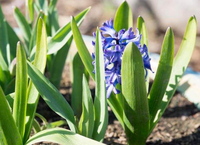 Hyacinth_DSC_3658