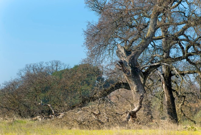 Oak Trees_DSC_2459