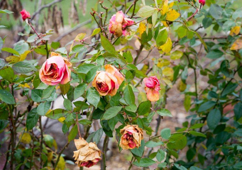 Roses_Last_DSC_2908