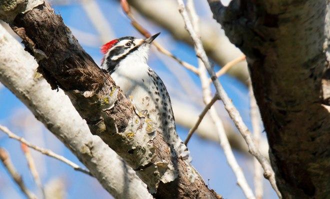 Woodpecker_DSC_1388