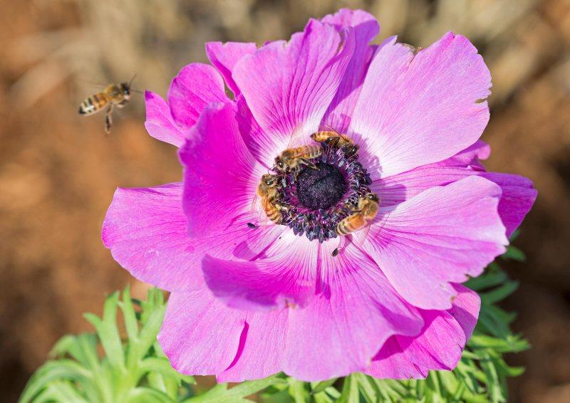 bees_anemone_DSC_4199
