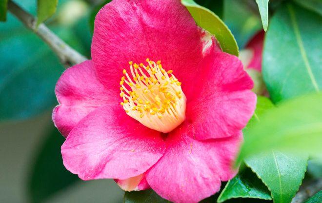 Camellia_DSC_3775