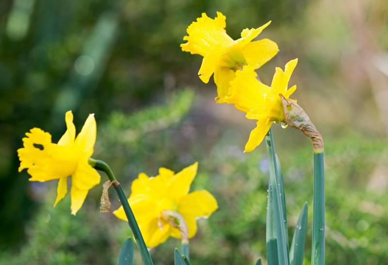 Daffodil_DSC_4166