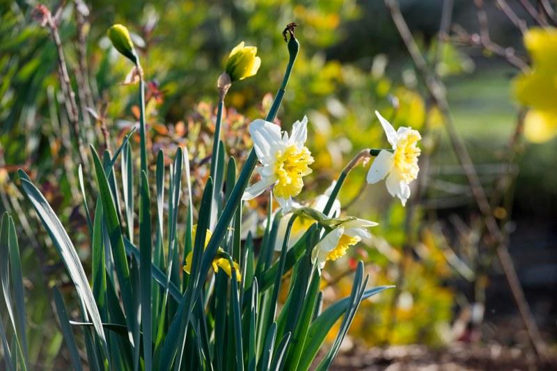 Daffodils_DSC_5458