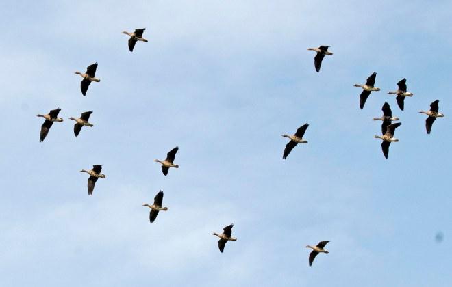 Ducks_Flight_DSC_4101
