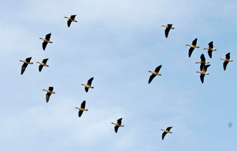 Ducks_Flight_DSC_4101