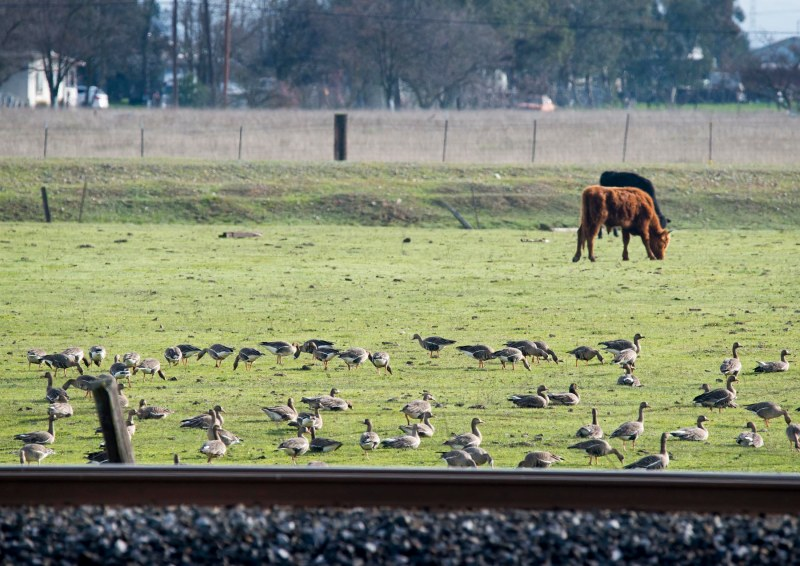 Geese_Cows_DSC_4138
