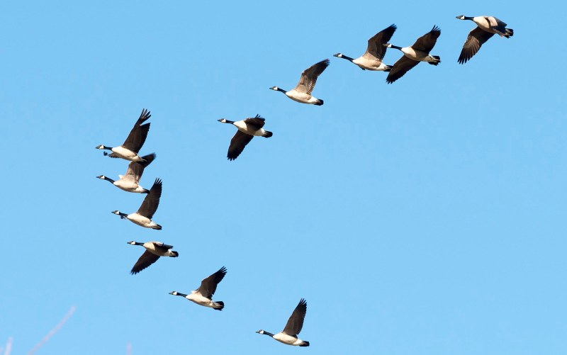 Geese_Detail_DSC_3663