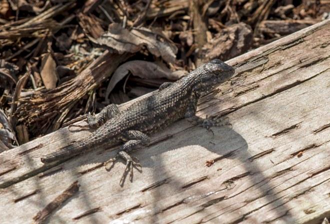 Lizard_DSC_4901